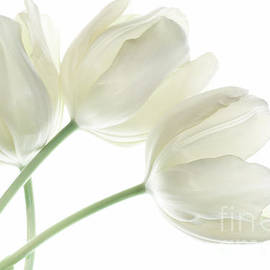 Charline Xia - White Tulip Flowers