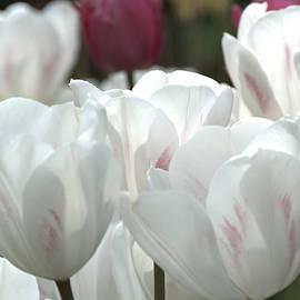 Lena Kouneva - White Tulips