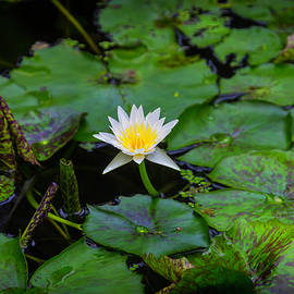 White Water Lily - Garry Gay