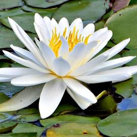 Susan Johnson - White Water Lily