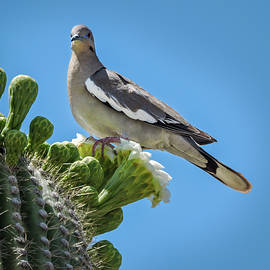 Penny Lisowski - White Winged Dove on Cactus Flower