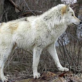 Steve Gass - White Wolf