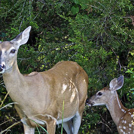 Mother Nature - Whitetail Deer Doe and Fawn