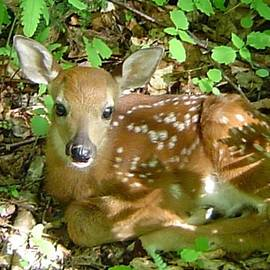 James Berger - Whitetail Fawn II