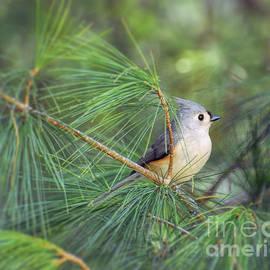 Kerri Farley - Wild Birds - Tufted Titmouse in the Pines