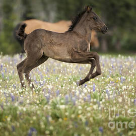 Wildlife Fine Art - Wild Colt - Pryors