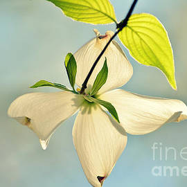 Kelly Nowak - Wild Dogwood Bloom 2