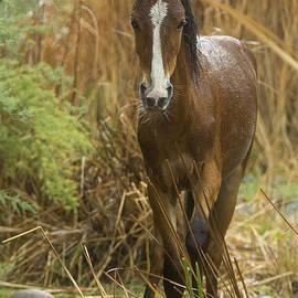 Sue Cullumber - Wild Foal