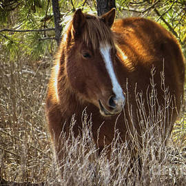 Dawn Gari - Wild Horse of Assateague