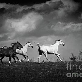 Dimitar Hristov - Wild horses - black and white
