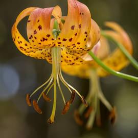 Bruce Frye - Wild Lilies