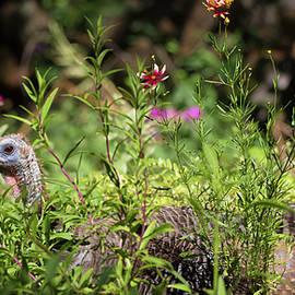 Kathleen Bishop - Wild Mama Turkey in the Garden