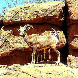 Merton Allen - Wild Mountain Sheep - Arizona