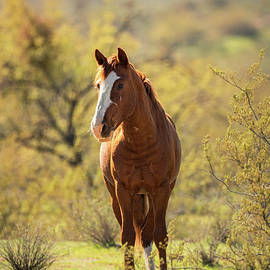 Wild Mustang on the Watch