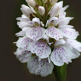 Rumyana Whitcher - Wild Orchid Flower