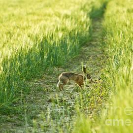 Dan Radi - Wild Rabbit