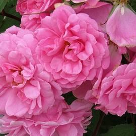 Barbara Ebeling - Wild Roses by the Half Dozen