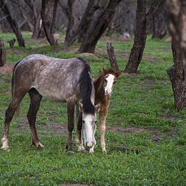 Dave Dilli - Wild Salt River White horses grazing