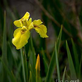 Robert Bales - Wild Yellow Iris