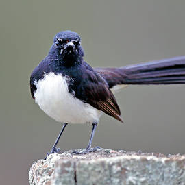 Nicholas Blackwell - Willie Wagtail