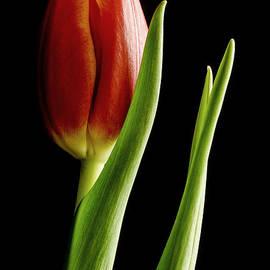 Nick Boren - Window Tulip