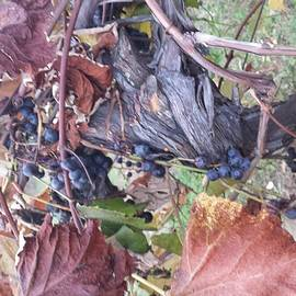 Jennifer Kohler - Wine Country Harvest 1