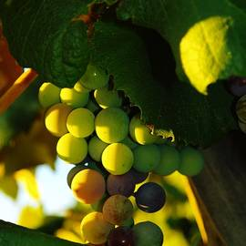 Jeff  Swan - Wine grapes shaded by leaves