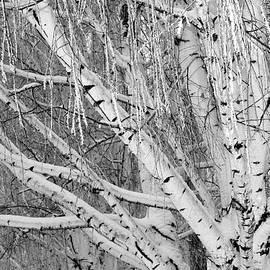 Carol Groenen - Icy Winter Birch Tree