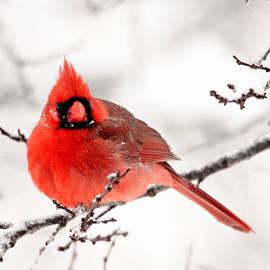 Trina Ansel - Winter Cardinal