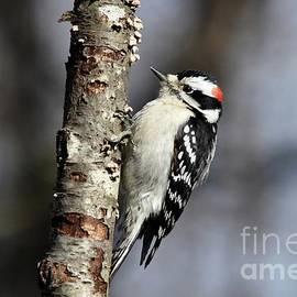 Charles Trinkle - Winter Downy Woodpecker