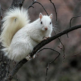 William Selander - Winter Squirrel