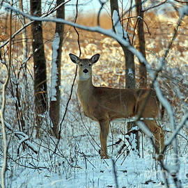 Steve Gass - Winter Whitetail Two