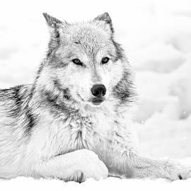 Athena Mckinzie - Winter Wolf Laying In Snow BW
