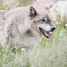 Athena Mckinzie - Wolf In Springtime