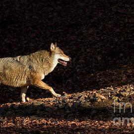Wolf in Woodland - Richard Garvey-Williams
