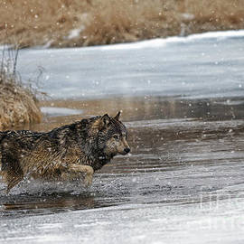 Wildlife Fine Art - Wolf river crossing