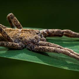 Paul Freidlund - Wolf Spider