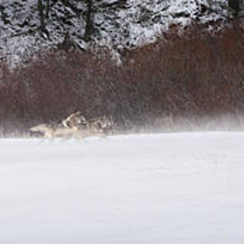 Wildlife Fine Art - Wolves Chasing Elk