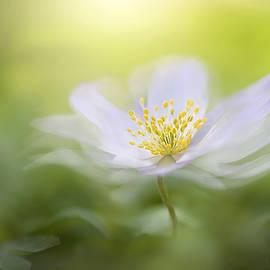 Jacky Parker - Wood Anemone