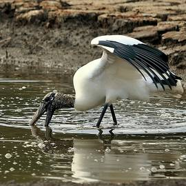 Al Powell Photography USA - Wood Stork Fishing
