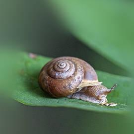 Mother Nature - Woodland Snail on Sassafras Leaf