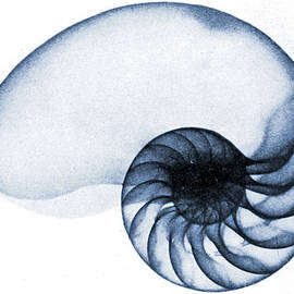 X Ray of a Nautilus - American School