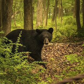 Jorge Perez - BlueBeardImagery - Yearling Black Bear