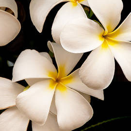 Brian Harig - Yellow and White Plumeria