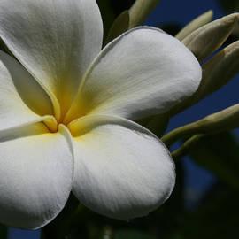 Sharon Mau - Yellow and White Tropical Plumeria