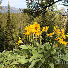 Adam Long - Yellowstone National Park wildflower Yellow Arrowleaf balsamroot