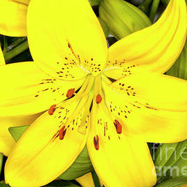 Anthony Totah - Yellow Asiatic Lilies