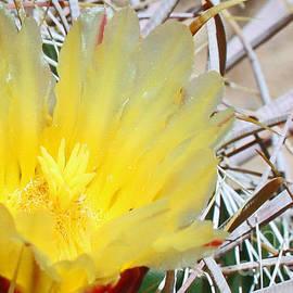 Kelly Holm - Yellow Barrel Cactus Flower