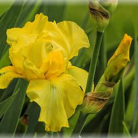 Geraldine Scull   - Yellow Bearded Iris