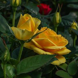 Jane Luxton - Yellow beauties